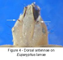 Euparyphus antennae
