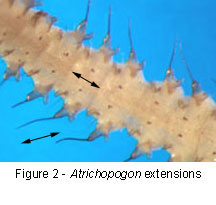 Atrichopogon Extension Length