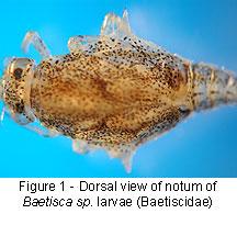 Baetiscidae shield