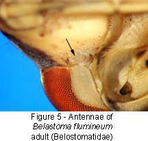 Belostomatidae antennae