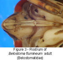Belostomatidae rostrum