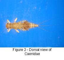 Caenidae body
