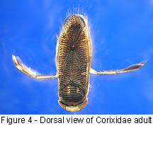 Corixidae body