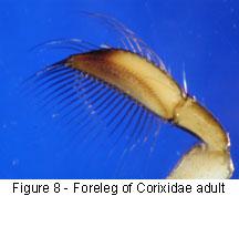 Corixidae foreleg