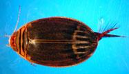 Dytiscidae-body