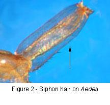 Aedes siphon hair