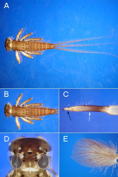 Order Ephemeroptera Family Heptageniidae The
