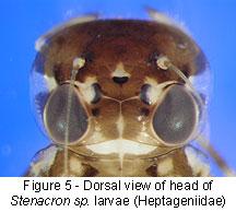 Heptageniidae head
