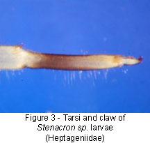 Heptageniidae tarsi