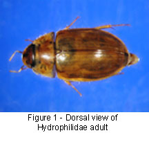 Hydrophilidae back