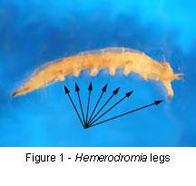 Hemerodromia legs