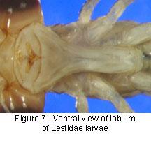 Lestidae labrum