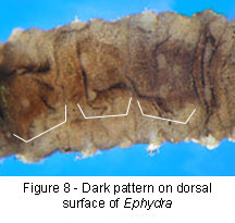 Ephydra dorsal coloration