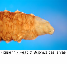 Sciomyzidae head