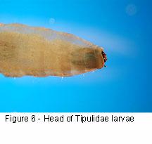 Tipulidae head