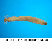 Tipulidae body