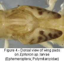 Polymitarcyidae wing