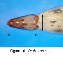 Probezzia head