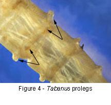 Tabanus prolegs