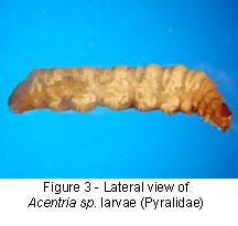Pyralidae body