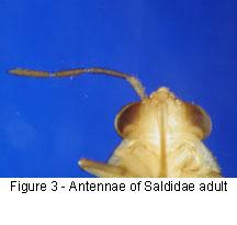 Saldidae antennae