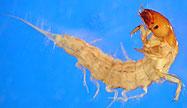 Alderfly larvae