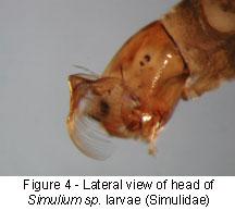 Simulidae brush