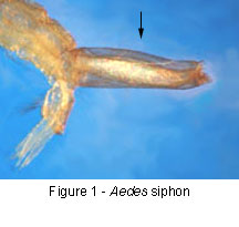 Aedes siphon