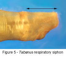 Tabanus respiratory siphon