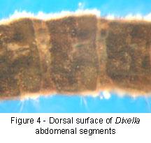 Dixella abdomen