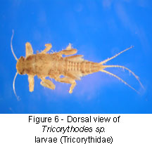 Tricorythidae body