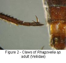 Veliidae claws