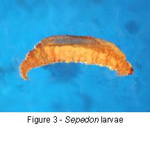 Sepedon larvae